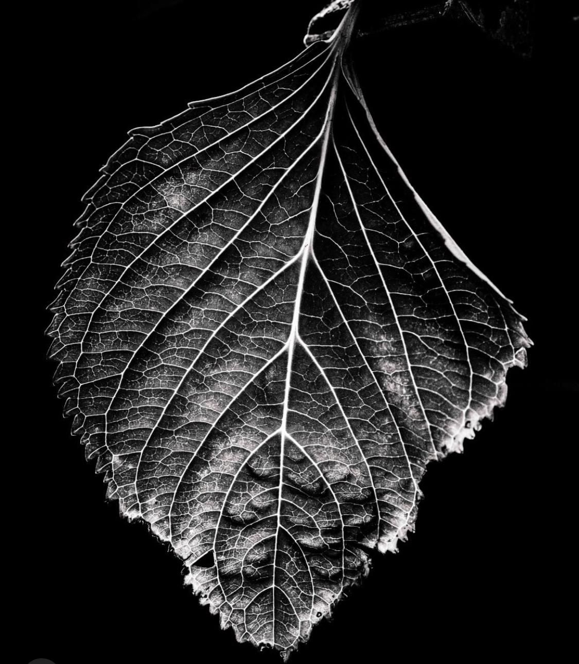 'Hydrangea Leaf'Spid Pye, A1 Print Size, Framed $1675